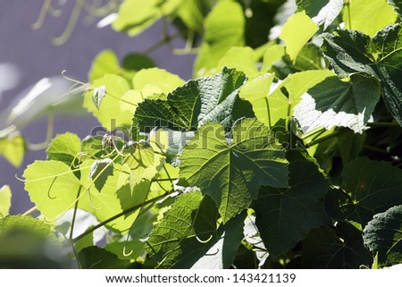 Grape Vine Leaves - stock photo