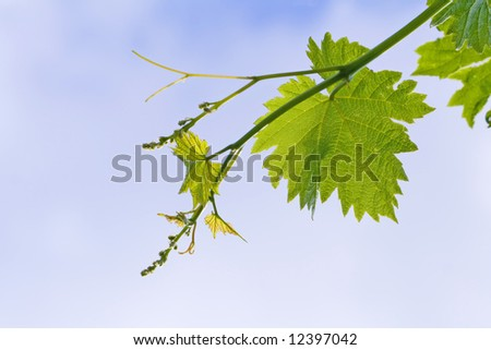 grape vine leaves over cloudy sky - stock photo