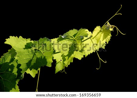 Grape vine on black background - stock photo