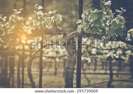 Grape Vine with Vintage Instagram Film Style Filter - stock photo