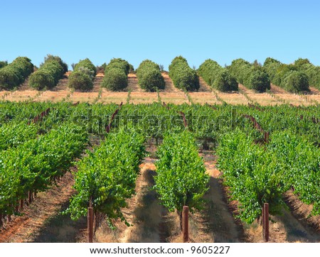grape vines and orange bushes growing in rows in an orchard