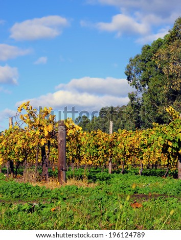 Grape vines at Autumn in winery vineyard, taken at Barossa Valley, South Australia. - stock photo