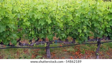 Grape Vines Closeup - stock photo