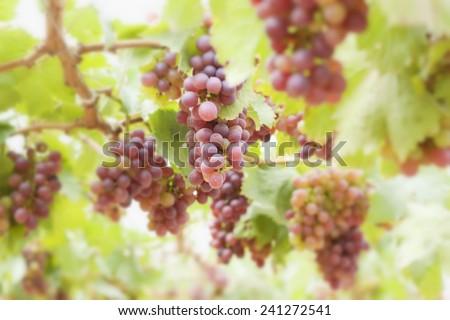 Grape vines in a vineyard - stock photo