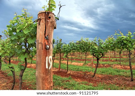 Grape Vines in a Vineyard - stock photo