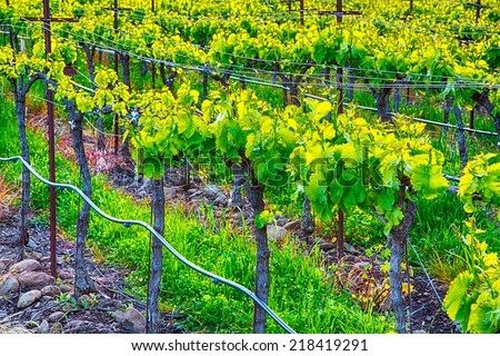 Grape vines in the evening light. Sonoma County, California - stock photo
