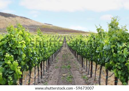 Grape vineyard in Napa, California. - stock photo