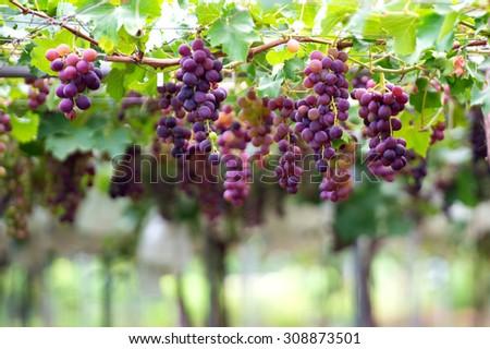 grapes - stock photo