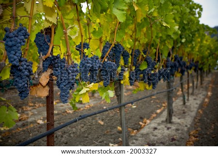 Grapes and Autumn leaves in the Napa Valley of California. - stock photo