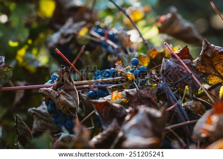 Grapes and colorful  autumn leaves - stock photo
