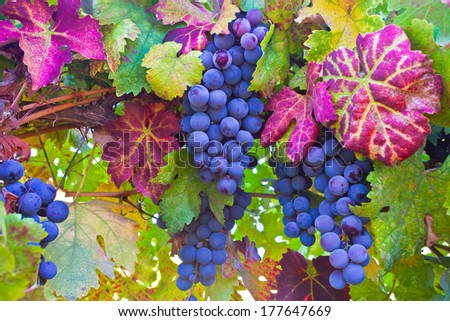 Grapes and colorful autumn leaves in Napa Valley, Northern California  - stock photo