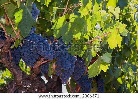 Grapes and more grapes on the vine, enough perhaps for a bottle or two of some great Napa Valley red wine.