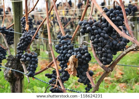 Grapes for making ice wine - this grape sort is harvested only after winter frost - stock photo