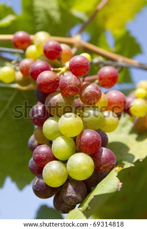 Grapes, fresh from the farm. To produce white. - stock photo
