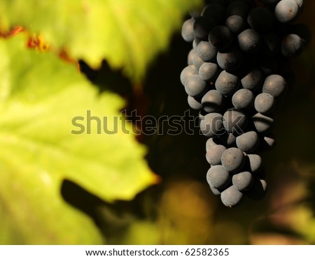 grapes from Douro - Portugal