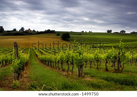 Grapes growing in a French vineyard - stock photo