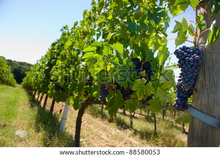 Grapes hanging in a vineyard in Tuscany in Italy. - stock photo