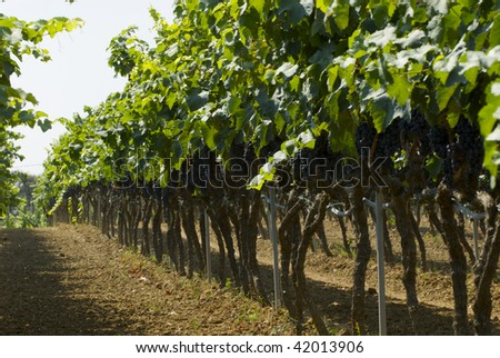 Grapes hanging in the vineyard
