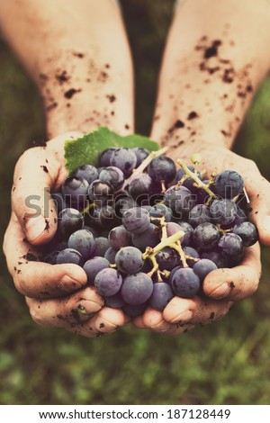 Grapes harvest. Farmers hands with freshly harvested black grapes. - stock photo