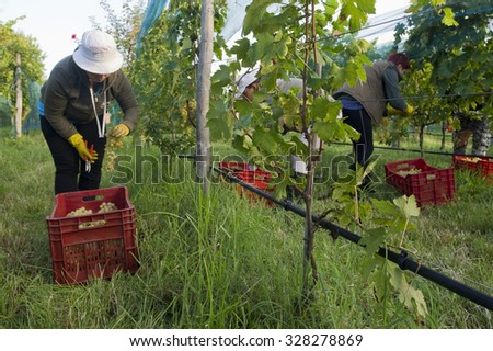Grapes Harvesting in Venice VENICE, ITALY - SEPTEMBER 9, 2015: Farmers picking grapes during harvest at a vineyard