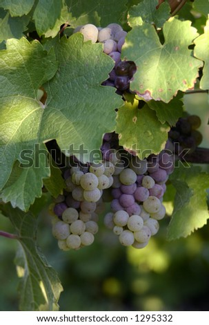 grapes in a vineyard 3 - stock photo