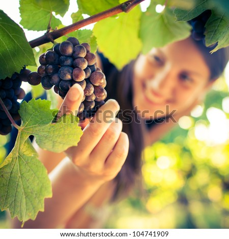 Grapes in a vineyard being checked by a female vintner (color toned image)