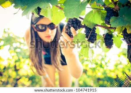 Grapes in a vineyard being checked by a female vintner (color toned image) - stock photo