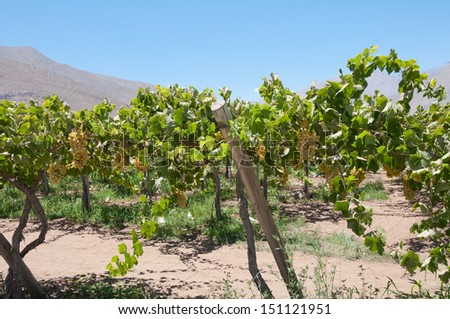 Grapes in a vineyard, Elqui valley (Chile) - stock photo