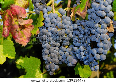 Grapes in a vineyard in Central Italy