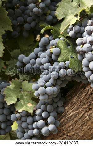 Grapes in a vineyard in Mendoza, Argentina - stock photo