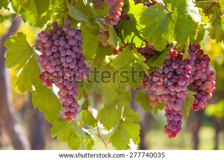 Grapes in a Vineyard in South America, Mendoza Argentina - stock photo