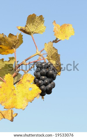 Grapes in a vineyard with autumn leaves