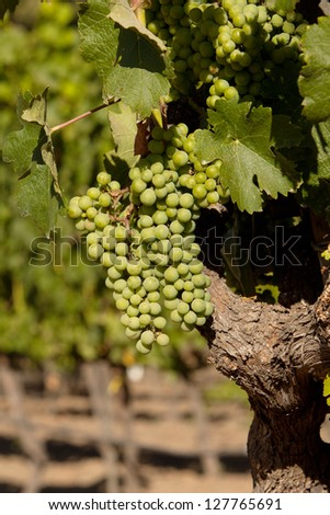 Grapes in a wine vineyard in Napa Valley. Beautiful wine grapes ripe for harvest. - stock photo