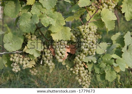 Grapes in a winery - stock photo
