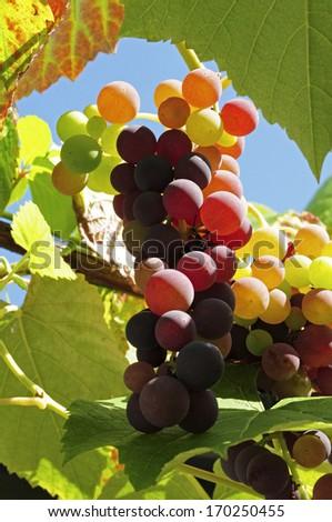 Grapes in garden - stock photo