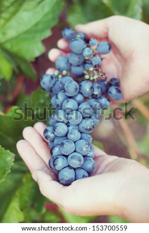 grapes in hands. harvest - stock photo