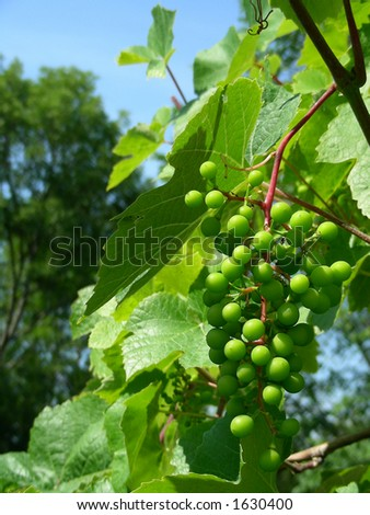 grapes in home garden in Latvia (Baltic sea, North) - stock photo