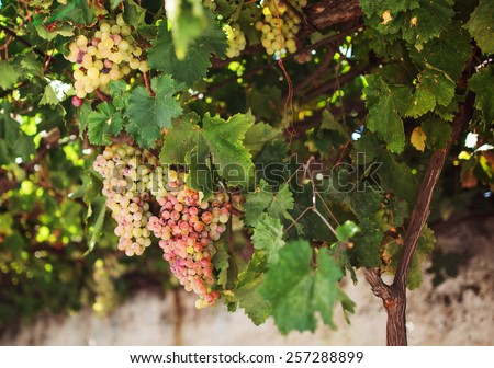 Grapes in the Island of Naxos, Greece. - stock photo