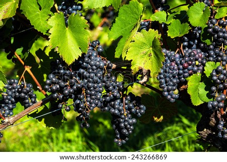 grapes in the vineyard of a winemaker. vineyard in autumn. - stock photo