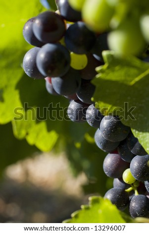 grapes in Vaucluse in Provence, France - stock photo