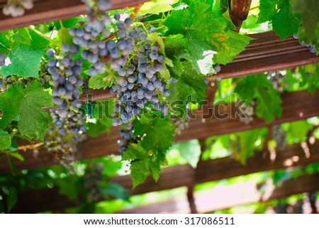 Grapes in vineyard. Black grapes and vine leaves. Shallow depth of field - stock photo