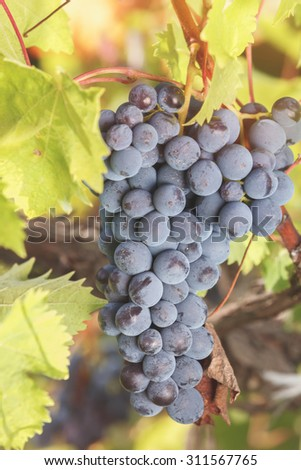 Grapes in vineyard. Black grapes and vine leaves with autumn tints. Soft and blur style for background. A photo with very shallow depth of field  - stock photo
