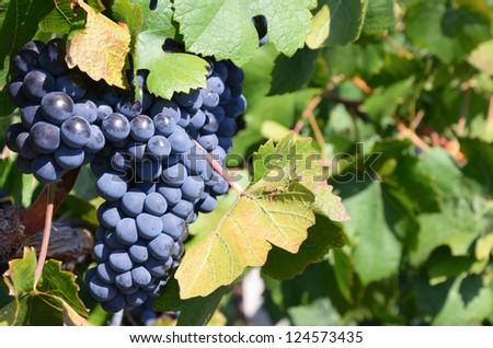 Grapes in vineyard in Balaclava. Crimea, Ukraine. - stock photo