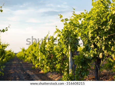 Grapes leaves in a sunny vineyard - stock photo