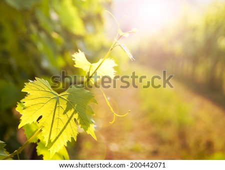 Grapes leaves in a vineyard - stock photo