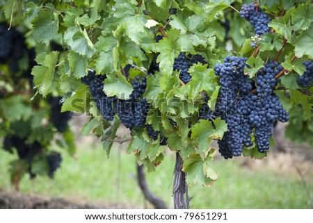grapes of black vine - stock photo