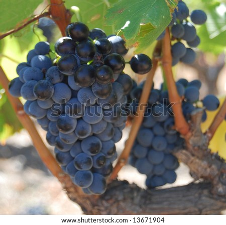 Grapes of grenache