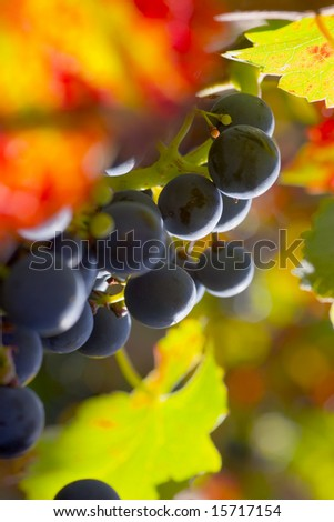 Grapes of red wine with colorful leaves in fall - stock photo
