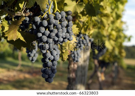 grapes of the vine at a vineyard - stock photo