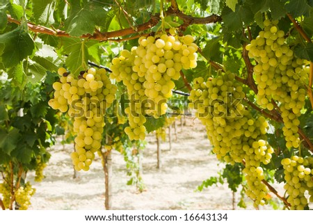 grapes of white vine in a vineyard (pergola)
